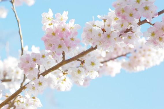 【第27回 大岡川桜まつり♪】